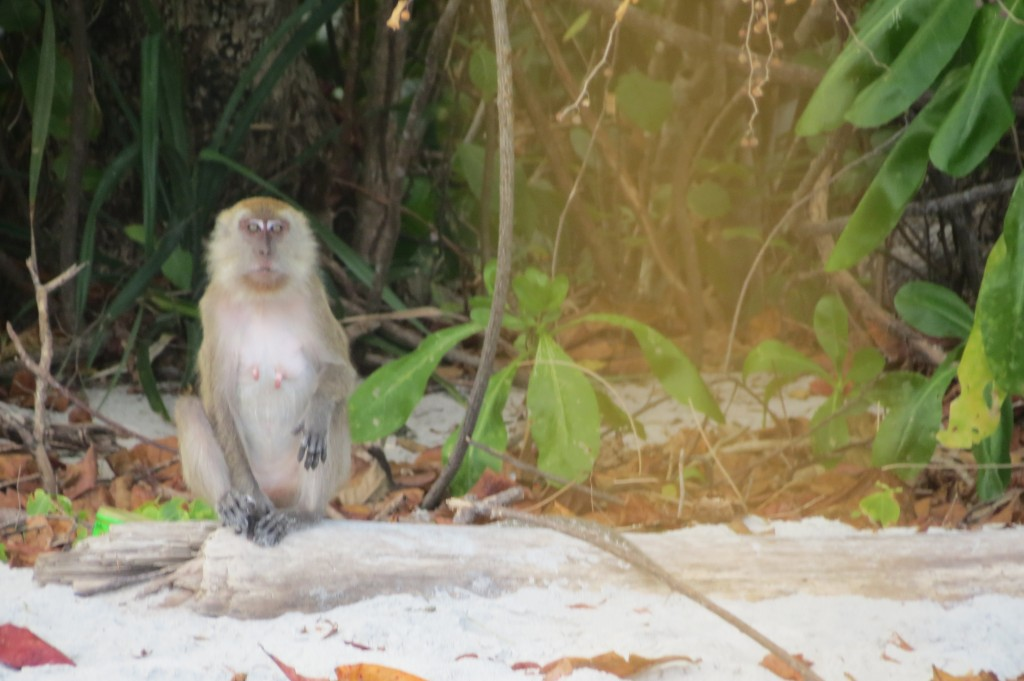 Wild Monkey Awaits a Treat from the Tourists
