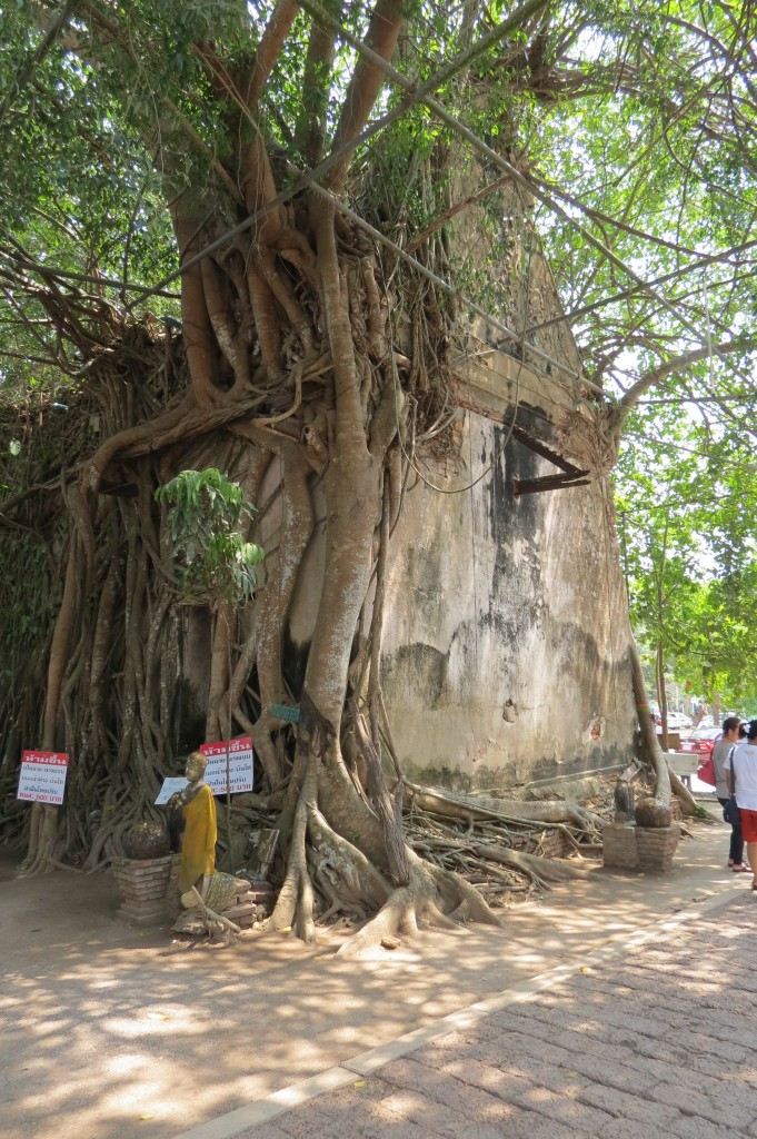 Old, once-abandoned Temple now entwined in the branches of a large tree
